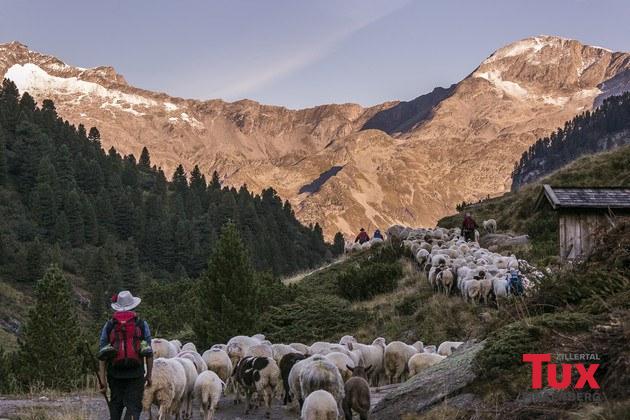 Schaf- und Haflinger Almabtrieb